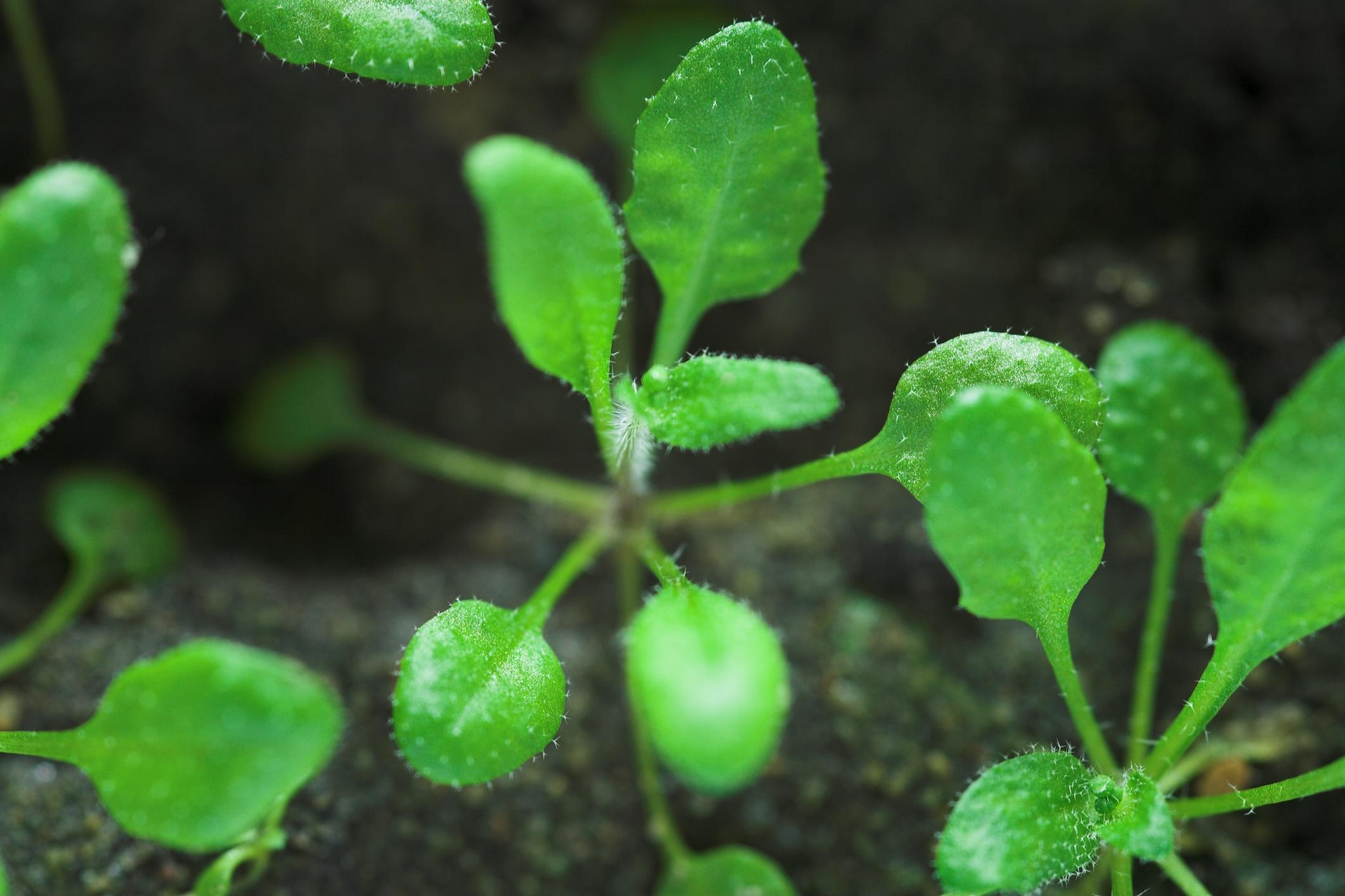 Arabidopsis.jpg